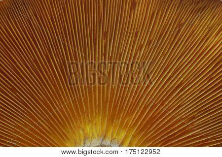 Omphalotus olearius, macro image of orange jack o lantern mushroom gills, poisonous mushroom