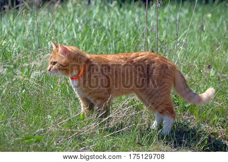 Standing in the grass red cat in a orange pet collar