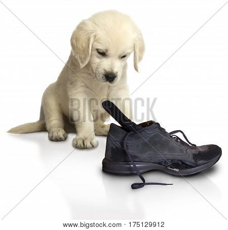 little spoiled Golden Retriever Puppy with a boot that he tore while playing