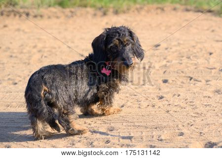 Puppy of a long-haired dachshund on a sandy path