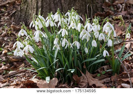 Detail of the bunch of purification flowers - snowdrops