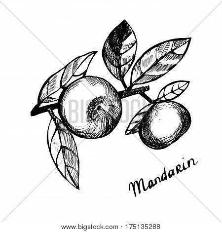 Mandarin with leaves. Hand-drawn Black and white illustration. Vector