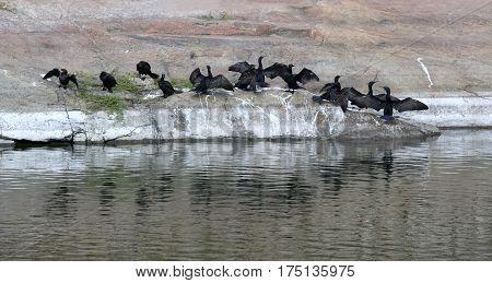 Little cormorant Phalacrocorax niger herd of cormorants drying wings after catching fish