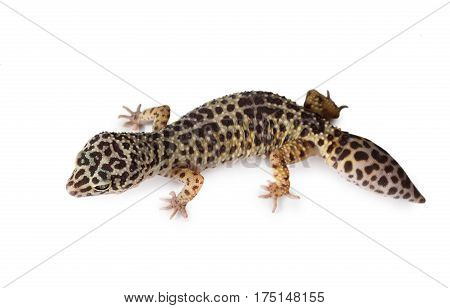 The leopard gecko (Eublepharis) isolated on a white background