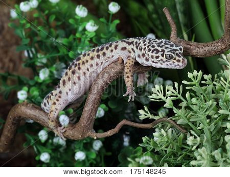 The leopard gecko (Eublepharis macularius) resting on a branch in the forest