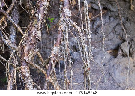 the destroyed and bound roots or rhizomes of trees closeup for an abstract and natural vegetable background