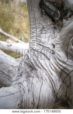 Burned tree in Torres del Paine giving silver coloration and wrinkles