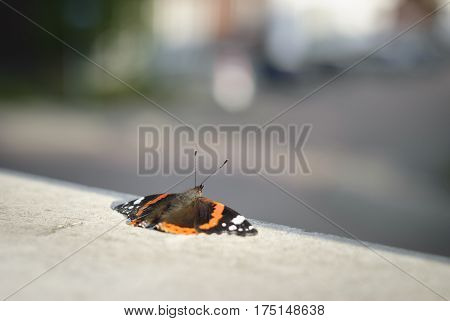 Red Admiral Butterfly Netherlands in urban city scene