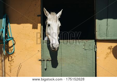White horse looks throw window of stable with green door and yellow wall on ranch