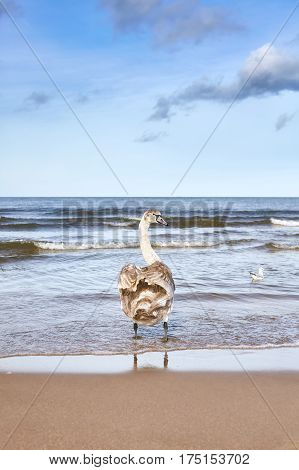 Young Mute Swan Wading On A Beach