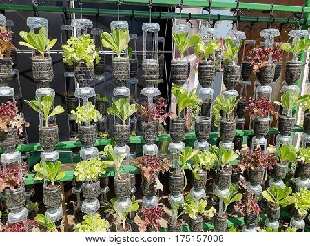 organic vegetable fresh green hydroponic  agriculture , healthy food.