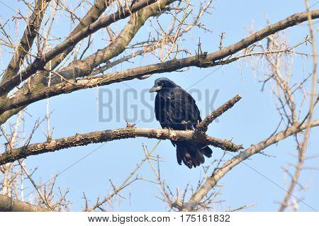 Birds - Rook (Corvus frugilegus) on a branch in spring
