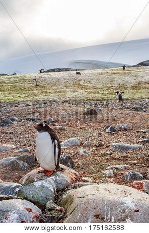 Lonely Gentoo Penguin Standing On Stone, Peterman Island, Antarctica