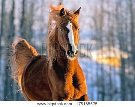 Flashy Arabian chestnut Stallion galloping in meadow