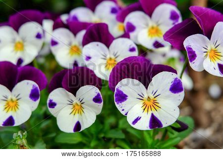 beautiful violet flowers viola tricolor pansy blossom tree branch in garden. natural spring season festival background.