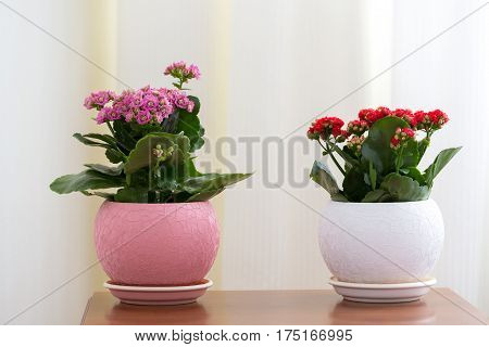 Red and pink Kalanchoe in the interior