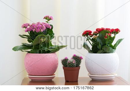 Red and pink Kalanchoe and cactus in the interior