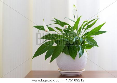 Spathiphyllum in a white pot in the interior