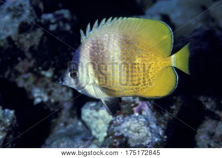 A Klein's Butterflyfish, Chaetodon kleinii on a coral reef at the Kwajalein Atoll in the Pacific