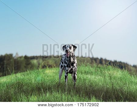 Active cute dalmatian staying on green meadow. Happy natural background pet.