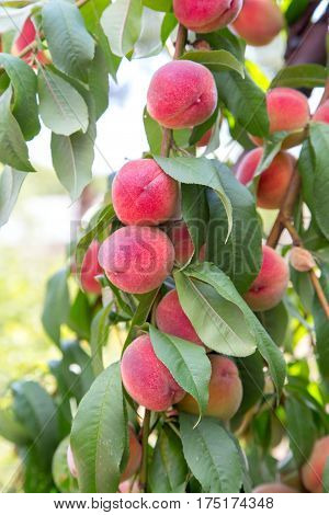 ruddy ripe peaches on a tree.  photo fbackground with text area.