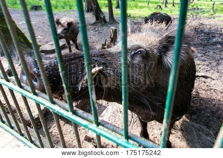 Ferocious wild boar in a cage.  Horizontal flat