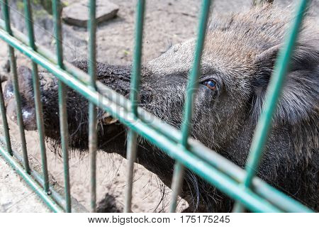Ferocious wild boar in a cage. no people