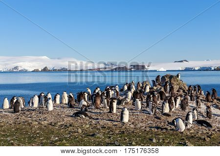 Chinstrap penguins colony members gathered on the rocks Half Moon Island Antarctic