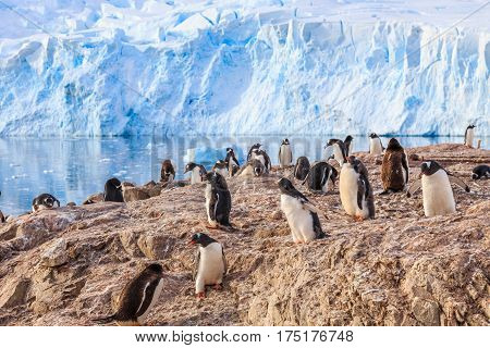 Various Gentoo Penguins Overcrowded The Rocky Coastline And Glacier In The Background At Neco Bay, A