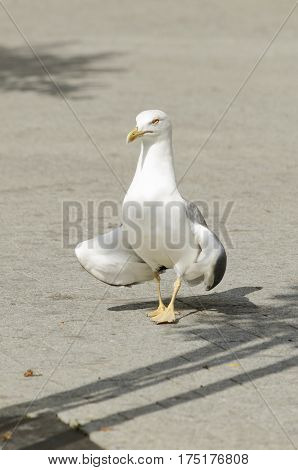Yellow-legged gull in the city. Selective focus
