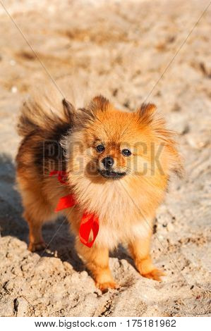 Spitz, dog, doggy, puppy is staying on the sand with red bow and looking up