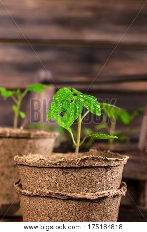 Young seedlings tomato with water drops in peat pots. Selective focus.
