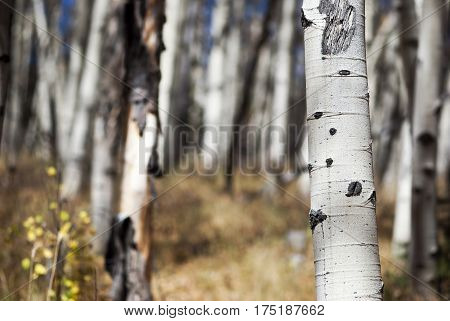 A grove of aspen trees growing in the Colorado Rocky Mountains in late autumn.
