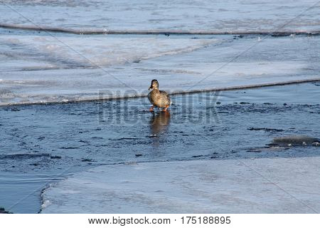 Mallard hen on a water covered floe of melting ice, walking towards open water