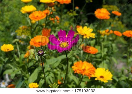 Cosmos atrosanguineus is a species of Cosmos Asteraceae family.