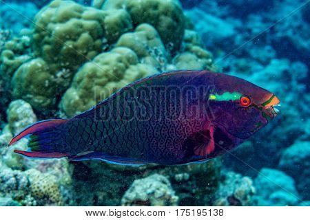 Parrot Fish Portrait In Maldives