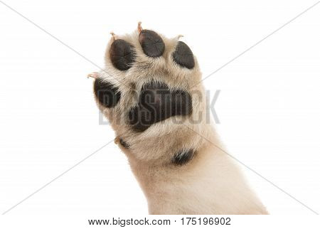 Baby puppy paw isolated on white background