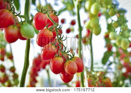 branch of fresh yellow cherry tomatoes hanging on trees in organic farm Solanum lycopersicum