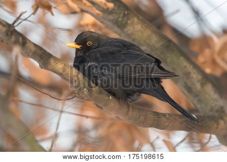 Common blackbird (Turdus merula) resting behind the root of the tree.Winter european birds. Blackbird sitting on a branch.