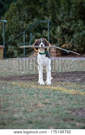 Cocker spaniel holding long large branch stick wood on grass