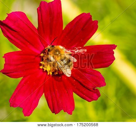 Red cosmea flower with a bee on it in summer season .Bee on Cosmea flower isolated.Bee working on cosmos flower.