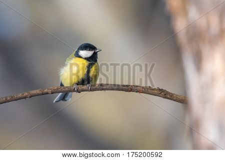 Bird - Great Tit (Parus major). Bird is sitting on a branch next to the feeder. Winter time.