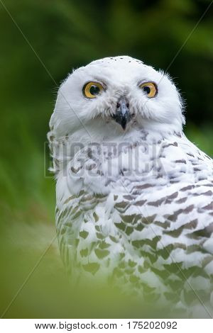 Awesome Snowy owl (Bubo scandiacus) outdoor shot. Owl is typical species for many countries, owl could be found also in Zoo. Animal shot capturing owl.