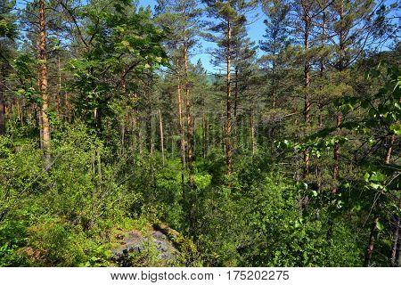 Forest summer landscape in taiga, Siberia, Russia