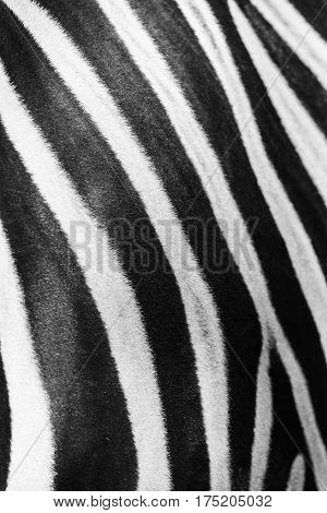 Close-up of stripes on zebra, natural texture of the skin of an African zebra, zebra background, black and white stripes.
