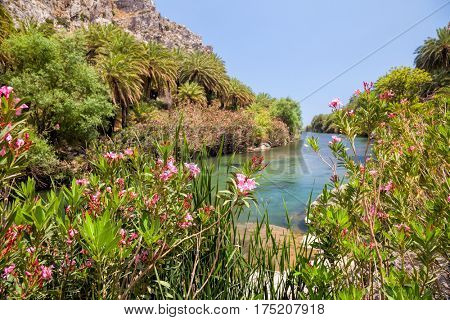Blooming oleander bushes and palm trees on the banks of Megalopotamos river near Preveli beach in Crete Greece