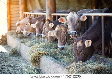 Cows On Farm Race Alpine Brown Eating Hay In The Stable