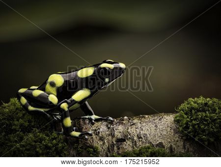 Tropical poison dart frog in Amazon rain forest Colombia. Dendrobates auratus a macro of a poisonous amphibian in the rainforest.