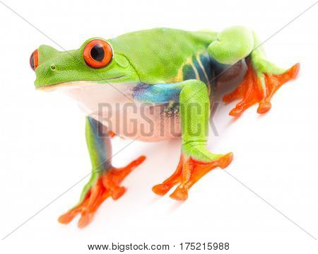 Red eyed monkey tree frog an animal with vibrant eyes. Agalychnis callydrias lives in the rain forest of Costa Rica and Panama. Amphibian isolated on white background.
