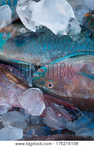 Closeup of turquoise parrot fish preserved on ice at fishmarket